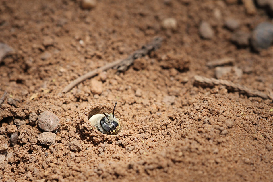 Image of solitary bee in ground nest.