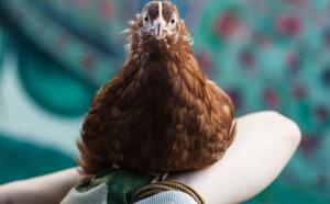Kippee the Rhode Island Red needs a home!