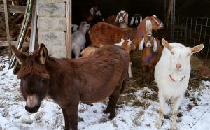 The herd of goats and donkeys in their winter home on the Northside in the snow