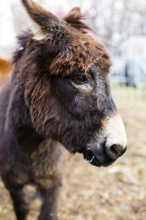 Hobes, our loyal guardian donkey for our first herd